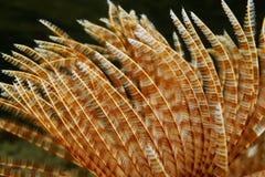 海洋蠕虫Sabellastarte magnifica Radioles  免版税图库摄影