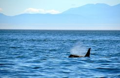 海洋表面上的鲸鱼游泳 库存图片