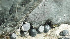 海洋软体动物在潮间带的区域 免版税库存图片