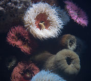 海洋银莲花属 库存照片