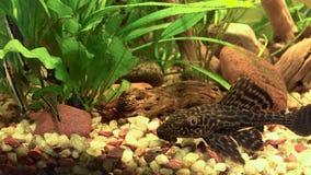 海藻食者 免版税库存照片