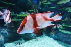 海洋鱼 免版税库存图片