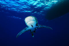 海洋鲨鱼whitetip 免版税库存照片