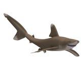 海洋鲨鱼whitetip 库存图片