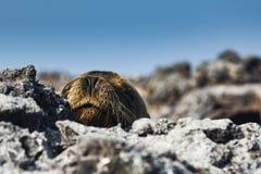 海lion& x27; 在火山岩的s头 库存照片