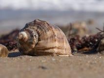 海rapana软体动物的空的壳的特写镜头 免版税库存照片