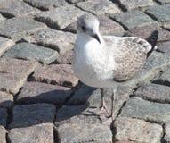 海seagul在石头站立 库存照片