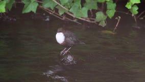 浸染工鸟, Cinclus,上上下下浮动在沿河的一块石头,苏格兰在威严期间 股票录像