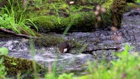 浸染工鸟, Cinclus,沐浴,吃和修饰沿河在苏格兰在9月期间 股票录像