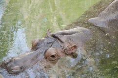 浸泡在池塘的河马 免版税库存图片