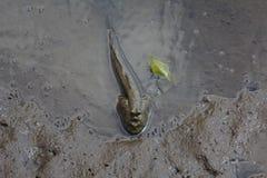 浸泡在沼泽地的Mudskipper 免版税库存图片