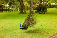 涂它的尾巴的孔雀在ocala的一个农场 库存照片