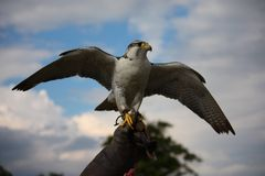 涂它的翼的一只美丽的白色北极鹰猛禽鸟 图库摄影