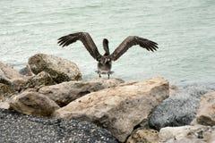 涂它的翼的一棕色鹈鹕 免版税库存图片