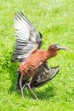 涂它的翼的光滑的朱鹭 免版税库存图片