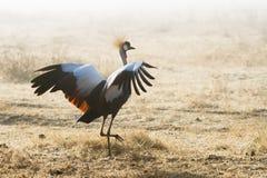 涂它的翼的苍鹭 免版税库存照片