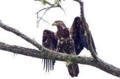 涂他的翼的未成熟的白头鹰 库存照片