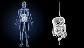 消化系统徒升有器官先前视图 库存图片