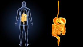 消化系统徒升有器官后部视图 免版税库存图片
