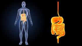 消化系统徒升有解剖学先前视图 库存照片
