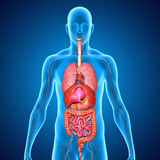 消化系统 向量例证