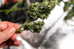消遣大麻张力 在细节的漂白亚麻纤维的THC收获 库存照片