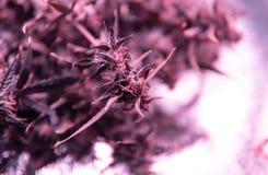 消遣大麻张力 在细节的漂白亚麻纤维的THC收获 免版税库存图片