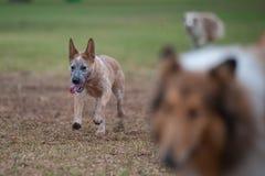 消费能量的嬉戏的狗 免版税库存照片