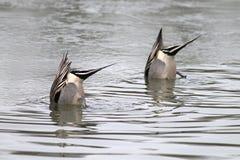 同步的鸭子靶垛 免版税库存照片