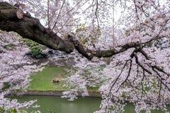 涌入Chidorigafuchi护城河,千代田,东京,日本的充分开花的樱花在春天 免版税库存图片