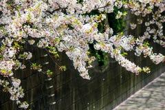 涌入Meguro河,目黑区,东京,日本的樱花在春天 库存照片