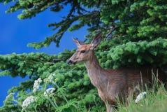 涌现从树的一头谨慎鹿在冰川国家公园 图库摄影