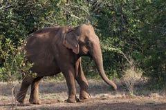 涌现从森林的亚洲大象 库存图片