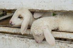 涌现从槽枥的绵羊的面孔,绵羊在槽枥 库存照片