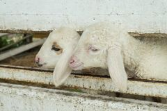 涌现从槽枥的绵羊的面孔,绵羊在槽枥 免版税库存照片