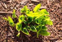 涌现在春天天线特写镜头的玉簪属植物 免版税库存照片