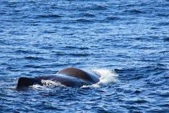 涌现的海运spermwhale 库存照片