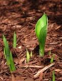 涌现的玉簪属植物春天新芽 免版税库存照片