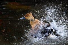 涌现从喷水的布朗鸭子 免版税库存照片