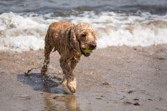 涌现从海的猎犬 库存照片