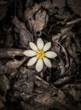 涌现从死的叶子的春天花 免版税库存图片