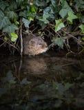 涌现从洞穴的野生水田鼠 图库摄影