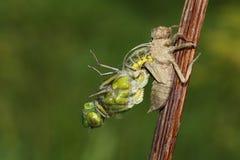 涌现从若虫的后面一宽广的有驱体的追赶者蜻蜓Libellula depressa 库存图片