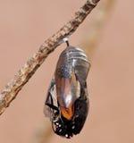 涌现从蝶蛹的黑脉金斑蝶 免版税库存图片