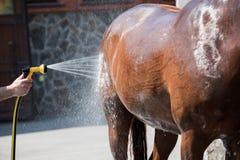 洗涤棕色纯血统马的人户外 免版税库存照片