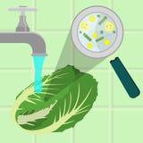 洗涤的污染的圆白菜 库存例证