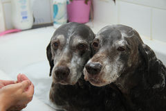 洗涤的狗 免版税库存照片