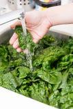 洗涤的菠菜菜 免版税库存图片