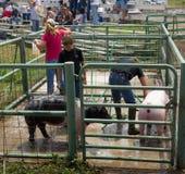 洗涤他们的动物的十几岁在4H竞争以后在科罗拉多 免版税库存照片