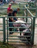 洗涤他们的动物的十几岁在4H竞争以后在科罗拉多 库存照片
